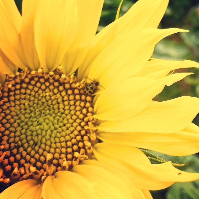 The bug and the sunflower.